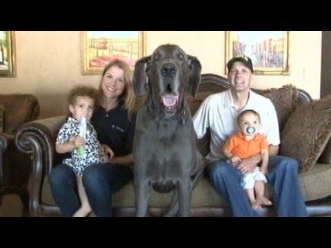 Thumbnail image for 'Tallest Dog Ever Passes Away: Animal News'