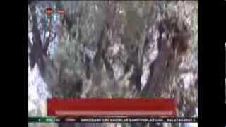 Kırkağaç'taki 1650 yıllık zeytin ağacı