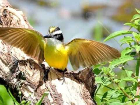 Aves do Brasil - O nosso popular Bem-te-vi e o seu canto.