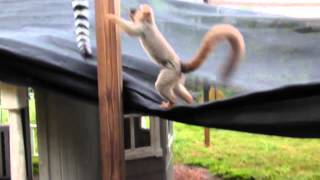 [Baby lemur's face attack] Video
