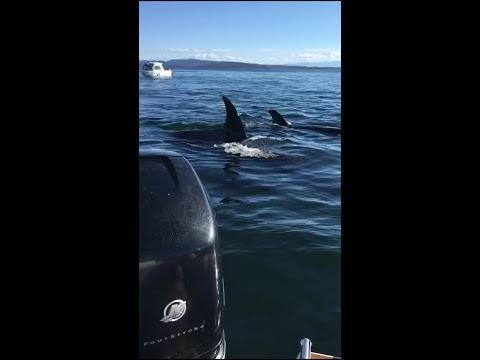 Orcas hunting seal jumps in boat(combined video)