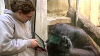 Apps for Apes: Orangutans Use iPads