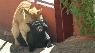 Gatos Apareandose.impresionantes Maullidos De La Hembra