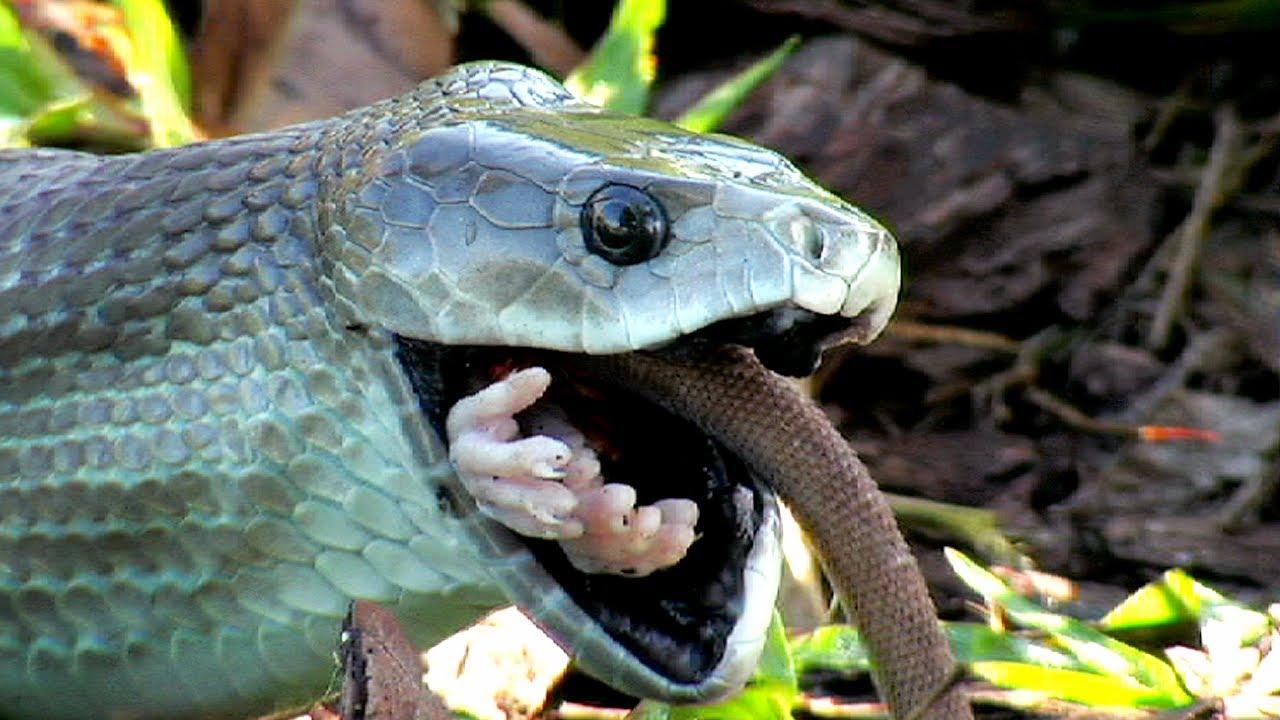 Змея черная мамба скорость