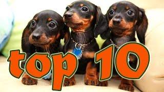 Videos graciosos de perros salchichas