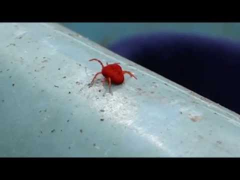 Red Velvet  mite  - Arachnids  - Trombidium -  Áttfætlumaur -  Skordýr