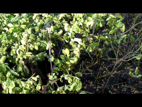เทคนิคเกษตรดอทคอม การชำกิ่งตอนมะนาวไร้เมล็ด