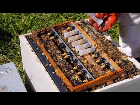 Beekeeping Basics with Thomas Clow - Raising Queen Cells