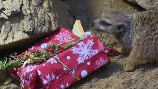 AP - Animals unwrap Christmas gifts at zoo in Poland