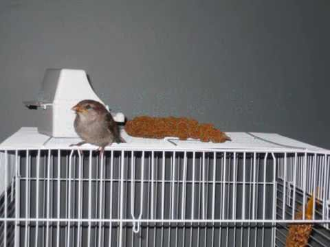Raising Of Sparrow Pictures : Raising Two Baby Sparrows - YouTube