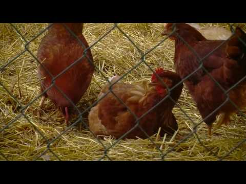 When to Move Chicks from the Brooder to the Coop