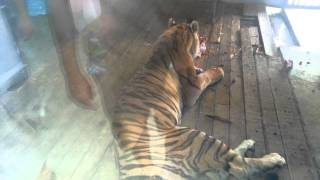 [A Big Tiger is eating its lunch] Video