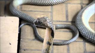 King Cobra The Longest Snake In The World