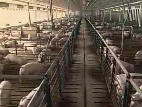 Tour Smithfield Foods and Murphy-Brown: Hog Farm