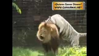 Lucha Entre Leon Y Tigre Blanco, Quien Gana LEON VS TIGRE