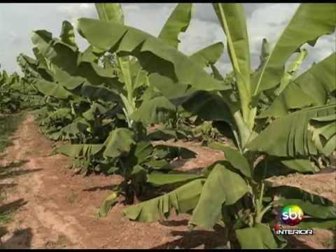 Plantio Banana - Nanicão - Notícias do Campo - 04-05-2013