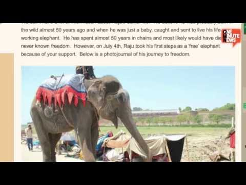 Raju The Elephant Freed From Chains After 50 Years Of Servitude