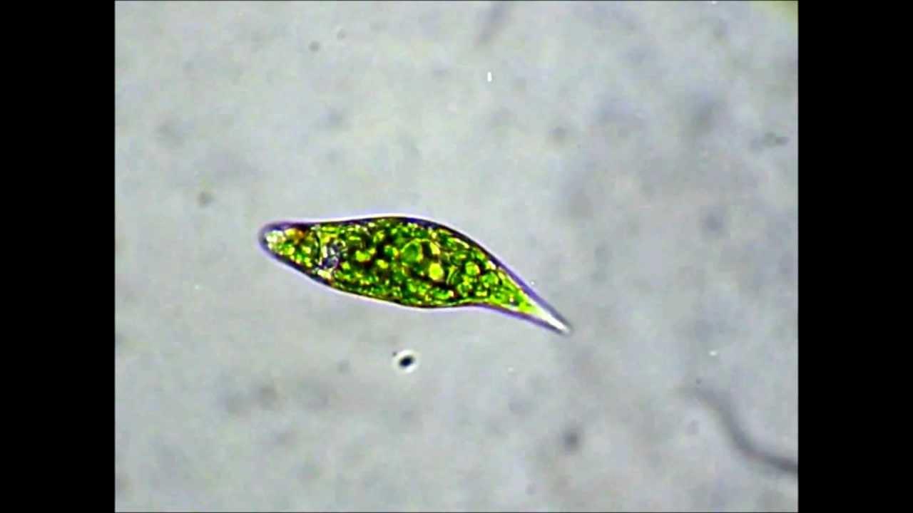 Euglena under microscope labeled