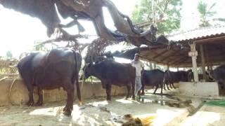 Krishna Milk Union