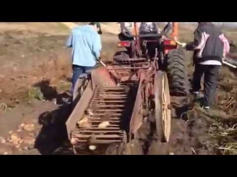 Harvesting potatoes with McCormick digger