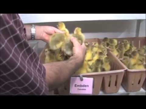 how to sex goslings