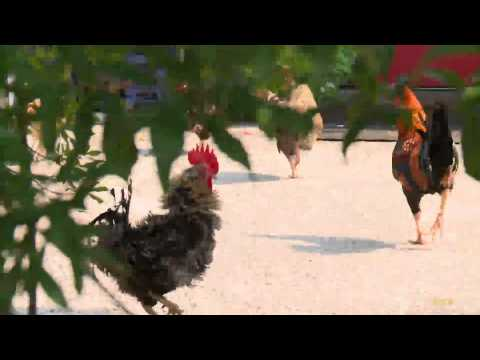 Video: Oviedo Chickens