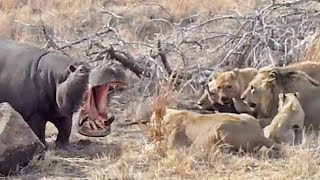 Hungry Hippo Wants to Eat with Lions