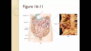 Chapter 16 The digestive system part 2