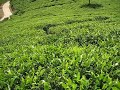 Nuwara Eliya - views over surrounding tea plantations