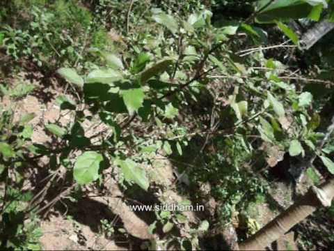 Medicinal Plants or Medicinal Herbs - Ocimum sanctum (Siddha Medicine) (Materia Medica)