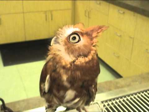 Screech Owl Chattering - Exotic Pet Vet Uncut Video