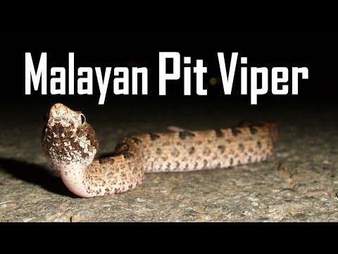Image Result For Bali Wildlife Snakesa