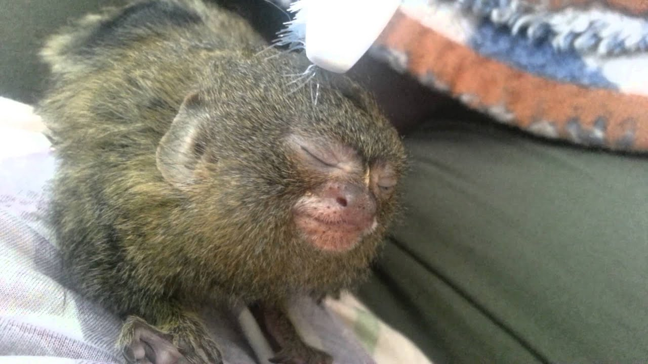 Marmoset Babies For Sale Baby Pygmy Marmoset Monkeys