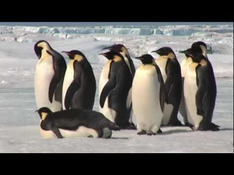 Emperor Penguins in Antarctica -c7M686pXr6M