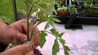 Hacer un injerto para una tomatera