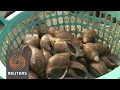 A snail tale: molluscs making money for Nigeria