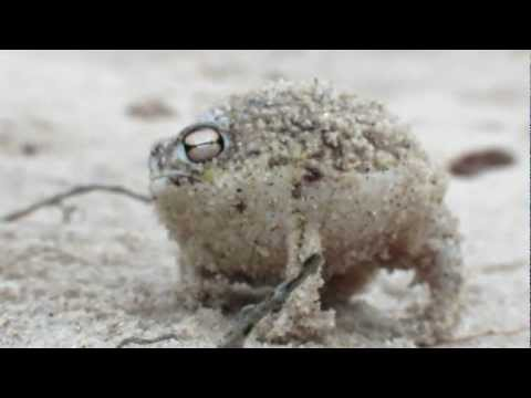 Worlds Cutest Frog - Desert Rain Frog