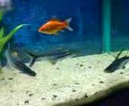My freshwater aquarium sharks youtube for Shark fish for aquarium