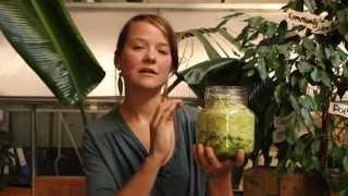 How to make raw fermented sauerkraut / How to make live sauerkraut