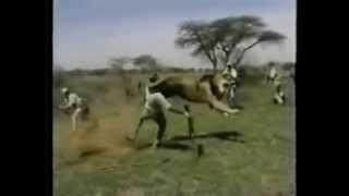 Impresionante ataque de león