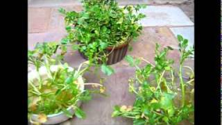 Growing Watercress Indoors