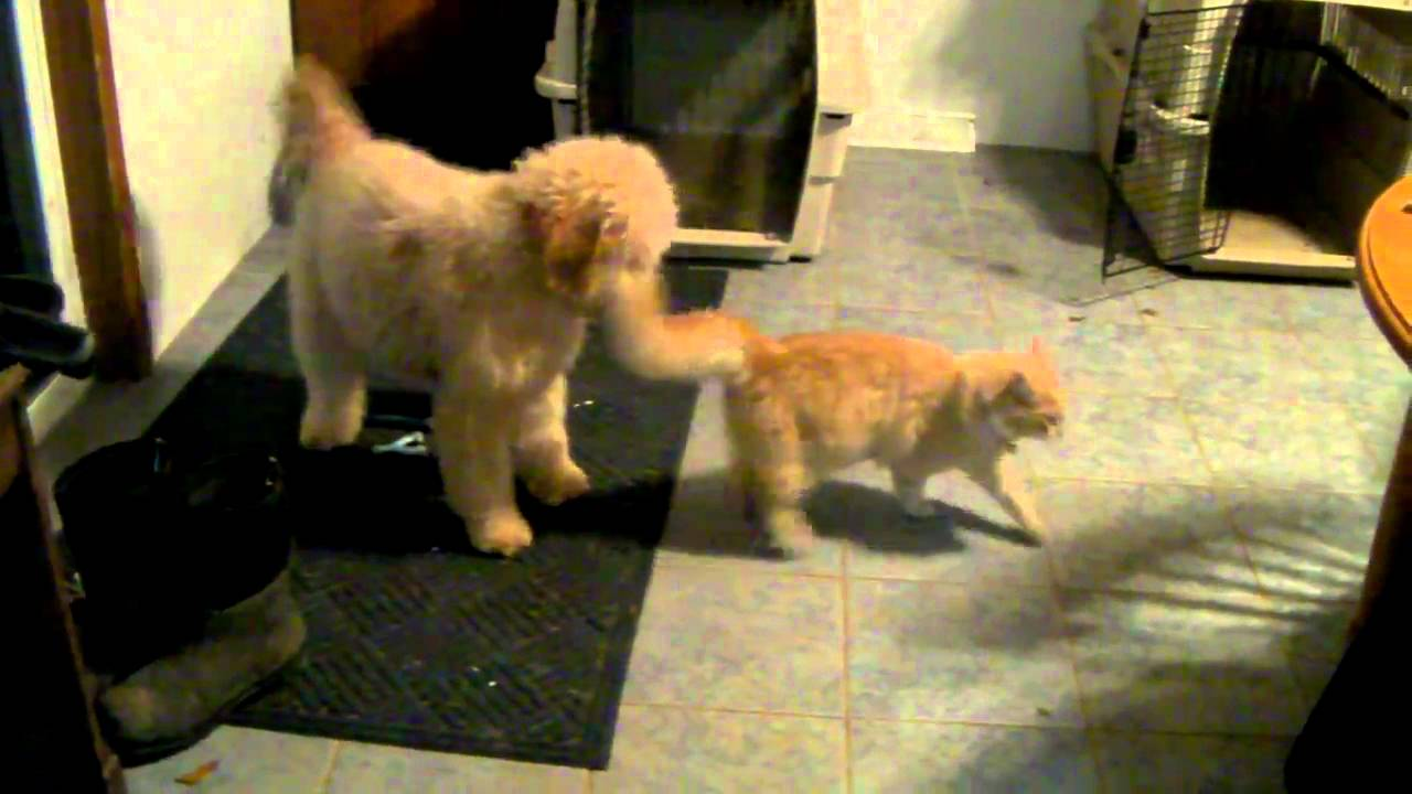 dog and cat play games smiley the goldendoodle playing with sunny the cat youtube. Black Bedroom Furniture Sets. Home Design Ideas