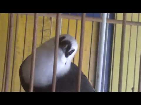 Burung Poksay Jambul Putih Aceh - Lokasi jakarta barat [081282553739]