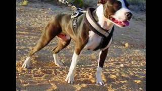 The Great American Pit Bull Terrier