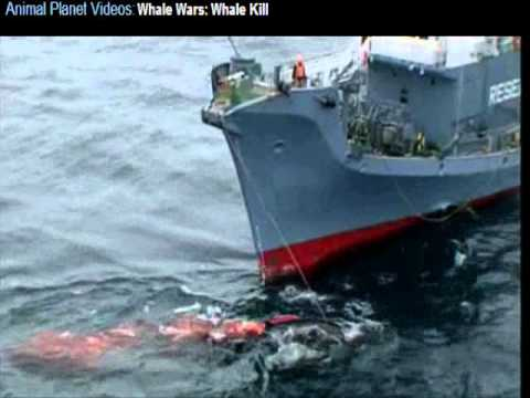 Whales wars [ WARNING] graphic footage of whaling! [WARNING]