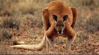 The quarrel of a kangaroo2