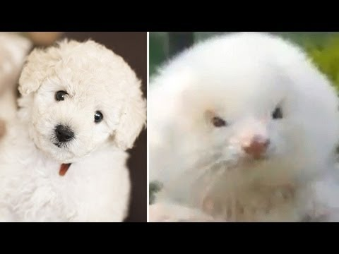 steroid ferrets sold as poodles