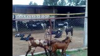 Www.goatfarmdevelopers.com H/p : 09884442068