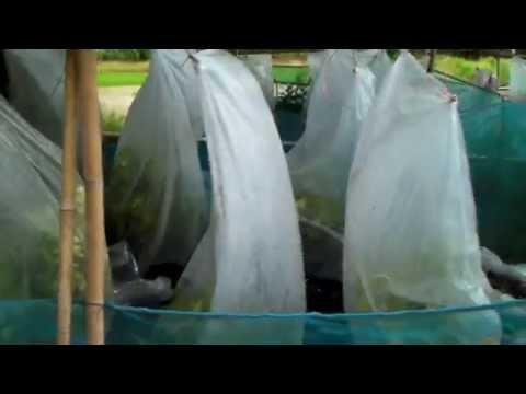เทคนิคเกษตรดอทคอม การทำให้กิ่งตอนมะนาวมีรากแข็งแรงสมบูรณ์