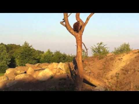 Bjørneunger kravler i træ